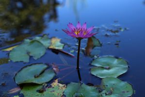 Water Lily Series  4332 by Doumanis