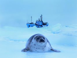Harp seal by Anaxsys