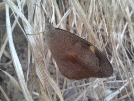 Common Brown Butterfly by Drhoz