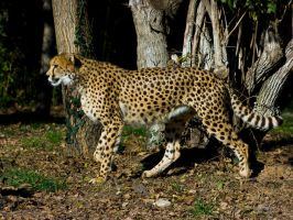 cheetah384 by redbeard31