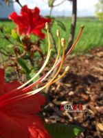 red flower by GreenSlOw
