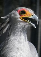 Secretary Bird Portrait by Ciameth