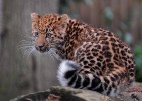 a young Amur by shaunthorpe