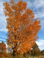 Fall Tree by FiresFlame