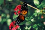 Heliconius Ismenius by Kendra-Paige