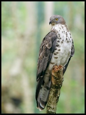 European Honey Buzzard by Pildik