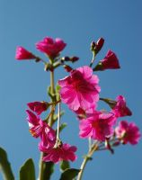 Pink Flower by phq