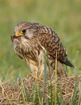 Kestrel and its prey by thrumyeye