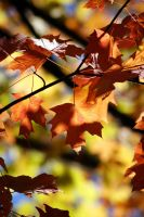 Fall Foliage 10121130 by StockProject1