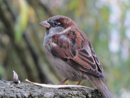 Passer domesticus by Oshunx