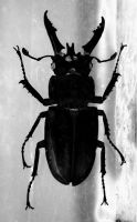 Stag Beetle by airblue