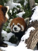 One Two Three on Red Panda by KodaSilverwing