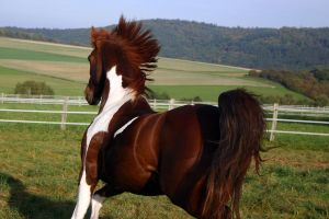 American Saddlebred Stock 24 by LuDa-Stock