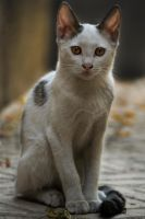Kitten by Sadeq-Photography