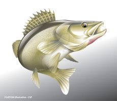 Zanderfish vector Illustration by ganzart
