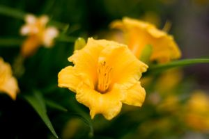 Yellow Flower in the Rain by dharris001