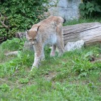 lynx I by mimose-stock