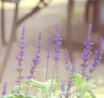 Day 345 Lavender by Sato-photography