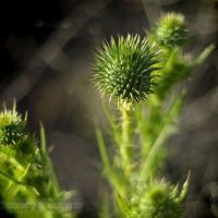 This Thistle by datazoid