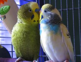 Budgie Friends by Murphy1210