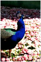 Peacock 1 by agnesvanharper
