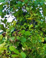 The Grapes of Wrath by CRGPhotography
