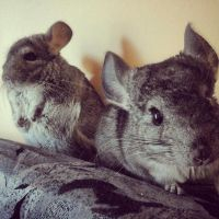 our chinchillas by FoxInShadow