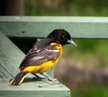 Male Oriole 14 by loopyker-stock