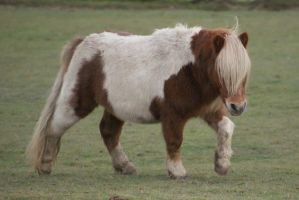 Shetland Pony 4 by gaothaire