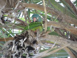 Wild blue crowned conure 1 by Sorath-Rising