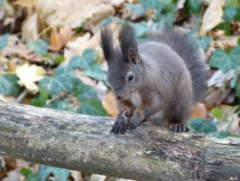 Squirrel 3 by Cundrie-la-Surziere