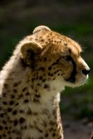 Cheetah Looking by LInconnu24