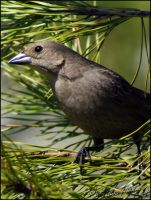 Female Cowbird by sunflowervlg