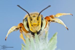 Leaf-cutting Bee - Megachile albitarsis by ColinHuttonPhoto