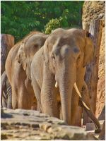 elephant staring at me by bibamus-pd