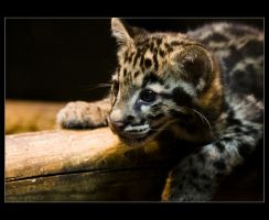 Clouded Panther Baby by sekhmet-neseret