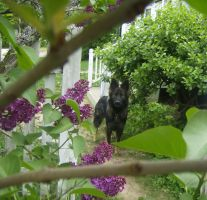 Wolves and Lilacs 2 by Shockbox