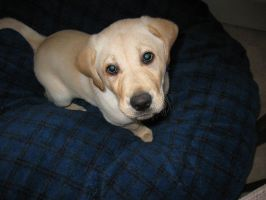 Yellow Lab Puppy by Katxie13