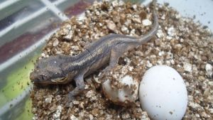 Baby Gargoyle Gecko Fresh Out Of Egg by ReptileMan27