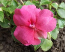 Pink Impatiens by AppleBlossomGirl