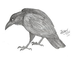 Corvus moriorum by HodariNundu