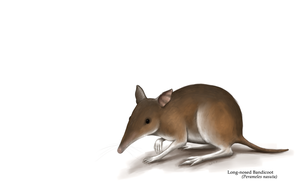 Long-nosed Bandicoot by Jish-G