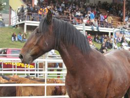 Rodeo Horse Stock 12 by horsecrazycool