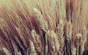 .wheat by orbatid