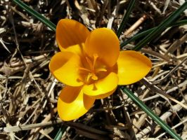 Yellow Crocus 2015 by Matthew-Beziat