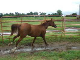 miss cherokee canter 01. by greenleaf-stock