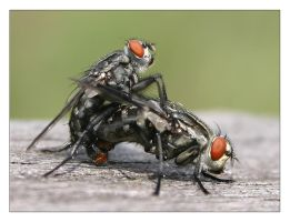 fly sex by MatthiasHaltenhof