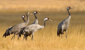 Solitary Brother- common cranes by Jamie-MacArthur