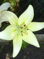 White lily by Ampata