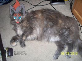 Real Zorua by Cat333Pokemon